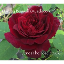 Darcey Bussell (Ausdecorum)*