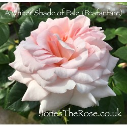 A Whiter Shade of Pale (Peafanfare)*
