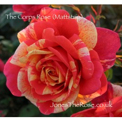 The Corps Rose (Mattstrip)*