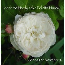 Madame Hardy
