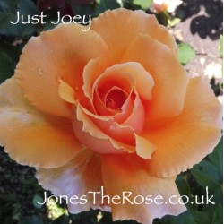 Just Joey