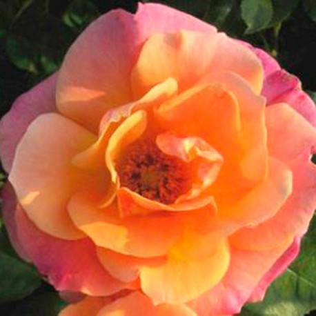 Kathleen's Rose (Kirkitt)
