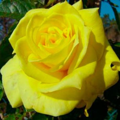 Korresia (Friesia, Sunsprite)