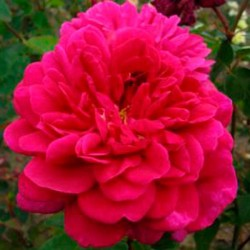 Sophy's Rose (Auslot)*