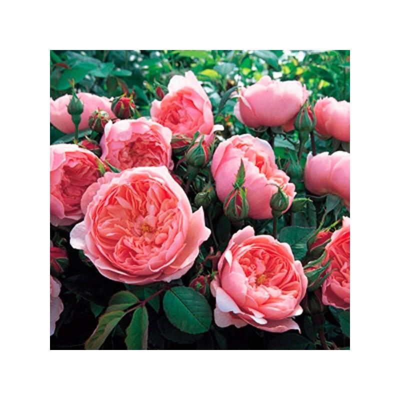 The Alnwick Rose Ausgrab