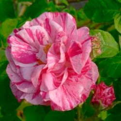 Rosa Mundi or Gallica Versicolor