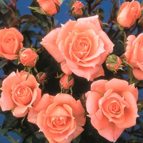 Flower Power (Frycassia)*