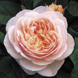 *Sweet Juliet (Ausleap)