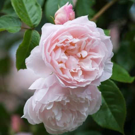 △*The Generous Gardener (Ausdrawn)