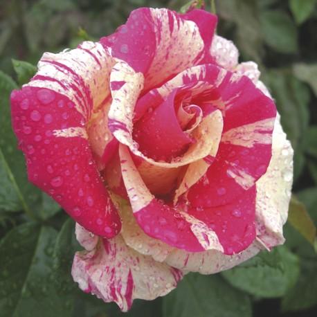 sarah rose mcdaniel hot