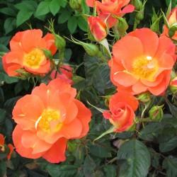 *Tangerine Tango (Cheworangemane)