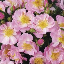 *The Lakeland Rose (Harspiral)