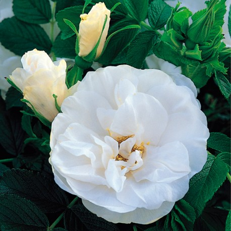 Blanc Double de Coubert