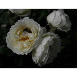 Taxandria (Viscampina)