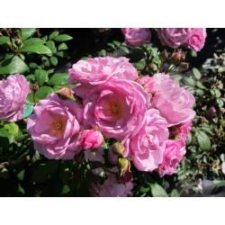 Lilac Bouquet (Chewlilacdays)