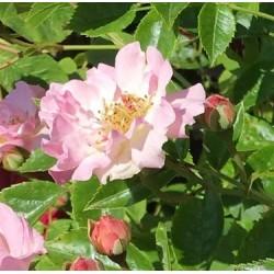 Pink Skyliner (Franwekpink)