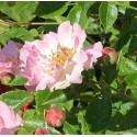 Pink Skyliner (Franwekpink)*