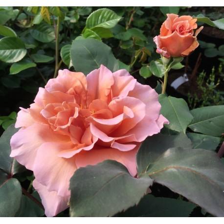 Rosa Julia's Rose