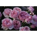 *Saffie-Rose (Wekgrasucejuc)