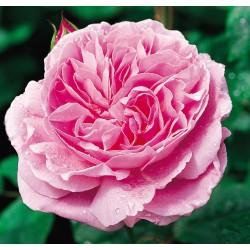 Mary Rose (Ausmary)