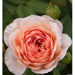 *William Morris (Auswill)