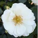 White Flower Carpet (Noaschnee)