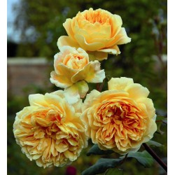 △*Crown Princess Margareta (Auswinter)
