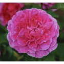 Englands Rose (Auslounge)
