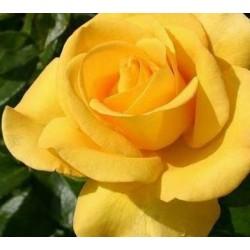 Esdaile Rose (Cocglazer)