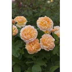 The Lady Gardener (Ausbrass)*