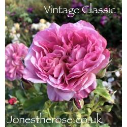 Vintage Classic (Weeks)*