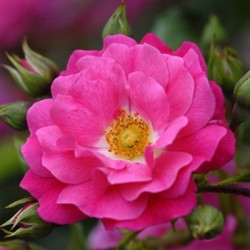 Pink Flower Carpet (Noatraum)