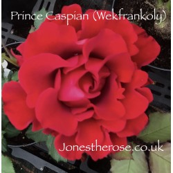 Prince Caspian  - Red Rose