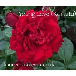 *Young Love (Kortutu)