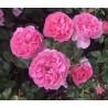 Saffie-Rose