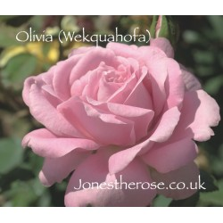 Olivia (Wekquahofa)