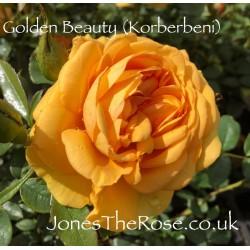 *Golden Beauty (Korberbeni)